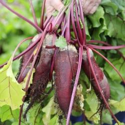 BIO Burak ćwikłowy podłużny - Certyfikowane nasiona ekologiczne