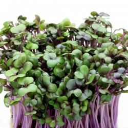 BIO Nasiona na kiełki - Kapusta czerwona - Certyfikowane nasiona ekologiczne - 2700 nasion