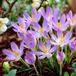 Krokus Lilac Beauty - 10 szt.