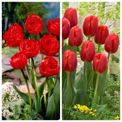 Red wine - zestaw 2 odmian tulipanów - 60 szt.