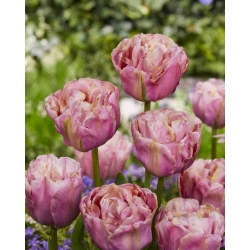 Tulipan Double Peony - pełny - opak. 5 szt.