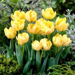 Tulipan Montreux - pełny - opak. 5 szt.