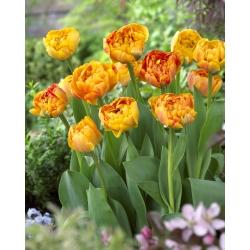Tulipan Sunlover - opak. 5 szt.