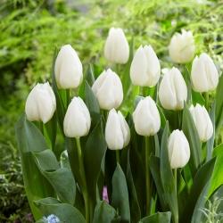 Tulipan White Prince - opak. 5 szt.