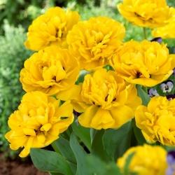 Tulipan Yellow Pomponette - pełny - opak. 5 szt.