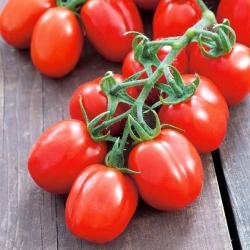 Pomidor gruntowy karłowy Mieszko - średniowczesny, plenny, polecany do uprawy towarowej
