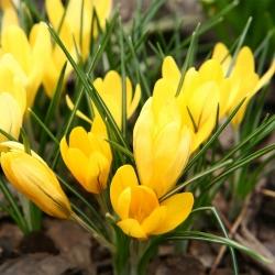 Krokus Golden Yellow - 10 szt.