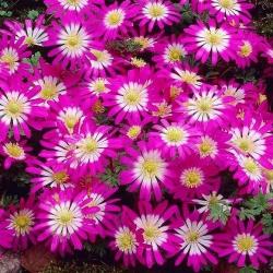 Zawilec grecki - Pink Star - duża paczka! - 80 szt.