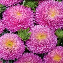 Aster chiński pomponowy różowy - 500 nasion