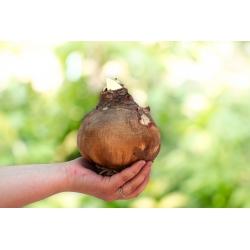 Hipeastrum - Amarylis - Różowy - cebulka GIGANT