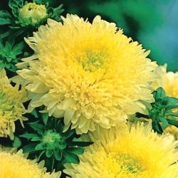 Aster chiński książęcy żółty - 500 nasion