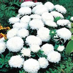 Aster chiński Milady White - 500 nasion