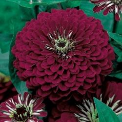 Cynia wytworna daliowa Violet Queen - 120 nasion