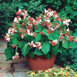 Domowy ogródek - Fasola Hestia - wielkokwiatowa, szparagowa - do uprawy w domu i na balkonie