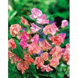 Groszek pachnący o kwiatach pstrych - 36 nasion