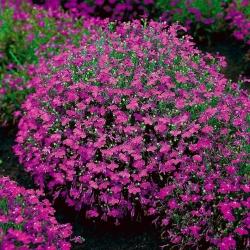 Lobelia przylądkowa karminowo-czerwona - Stroiczka - 3200 nasion