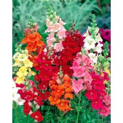 Lwia paszcza o kwiatach trąbkowych Trumpet Serenade - 740 nasion