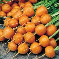 Marchew wczesna Pariser Markt 4 - 2550 nasion