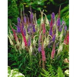 Przetacznik kłosowy - Sightseeing - w trzech kolorach! - 1000 nasion