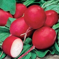 Rzodkiewka Riesen von Aspern - okrągła, czerwona - 425 nasion