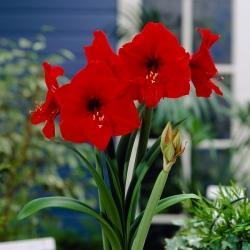 Hipeastrum - Amarylis - Czerwony - 1 cebula GIGANT
