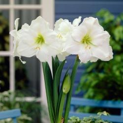 Hipeastrum - Amarylis - Biały - cebula GIGANT