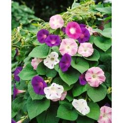Wilec o dwubarwnych kwiatach - 56 nasion