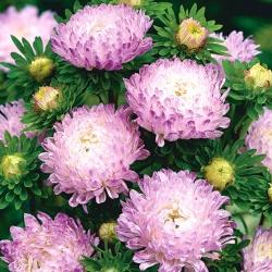 Aster chiński peoniowy biało-różowy - 500 nasion