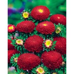 Aster chiński pomponowy czerwony - 500 nasion