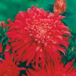 Aster chryzantemowy Płomień - czerwony - 125 nasion