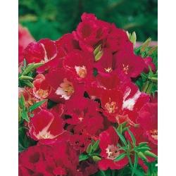 Godecja, azalia letnia czerwona - 1500 nasion