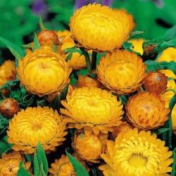 Kocanka ogrodowa o kwiatach łososiowych - 1250 nasion