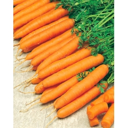 Marchew Amsterdamska - wczesna - nasiona otoczkowane - 400 nasion