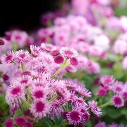 Żeniszek meksykański różowy - 150 nasion