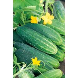 Ogórek Dalila F1 - średnio wczesny, do konserwowania w słoikach i beczkach - 200 nasion