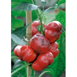 Papryka słodka Iga - 60 nasion