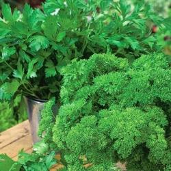 Domowy ogródek - Pietruszka naciowa - mieszanka odmian do uprawy w domu i na balkonie - 3000 nasion