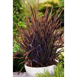 Ryż ozdobny o purpurowych liściach - Black Madras