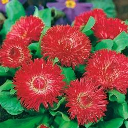 Stokrotka wielkokwiatowa Gracja - czerwona - 600 nasion