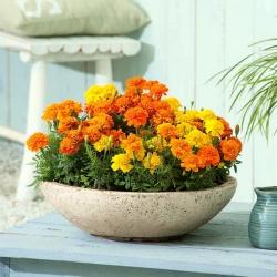 Domowy ogródek - Aksamitka rozpierzchła Bonanza Series - do uprawy w domu i na balkonie - 175 nasion