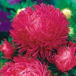 Aster igiełkowy wysoki Inga - różowoczerwony