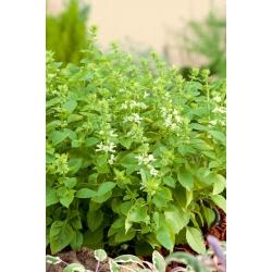 Bazylia Floral Spires - 30 nasion