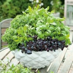 Domowy ogródek - Bazylia - mieszanka odmian do uprawy w domu i na balkonie - 325 nasion
