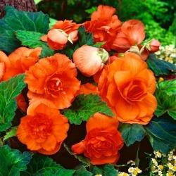 Begonia podwójna (pełna) - pomarańczowa - 2 bulwy