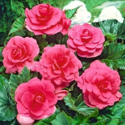Begonia podwójna (pełna) - różowa - 2 bulwy