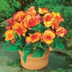 Begonia żółto-pomarańczowa - Picotee Yellow - 2 bulwy