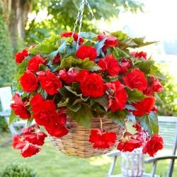 Begonia zwisająca, kaskadowa - czerwona - 2 bulwy