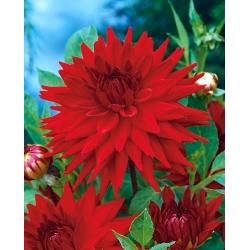 Dalia kaktusowa czerwona - Dahlia cactus Red