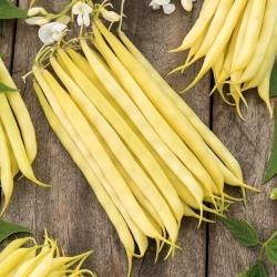 Fasola Krakuska - szparagowa, średnio późna, intensywnie żółta