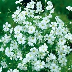Gipsówka letnia Covent Garden - biała